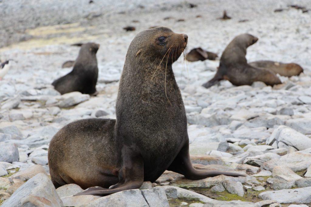 Antarctic fur seal on rocks